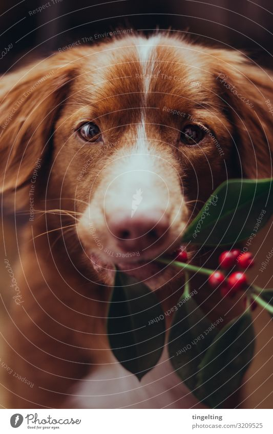 Wanna kiss under the mistletoe? Plant mistletoe branch Animal Pet Dog 1 Soft Green Orange Red Nova Scotia Duck Tolling Retriever retriever Carrying Stop