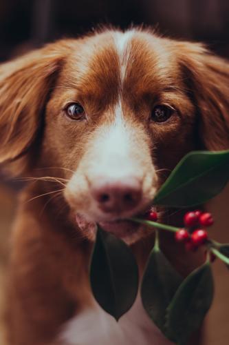 Wanna kiss under the mistletoe? Plant mistletoe branch Animal Pet Dog 1 Soft Green Orange Red Nova Scotia Duck Tolling Retriever retriever Carrying Stop