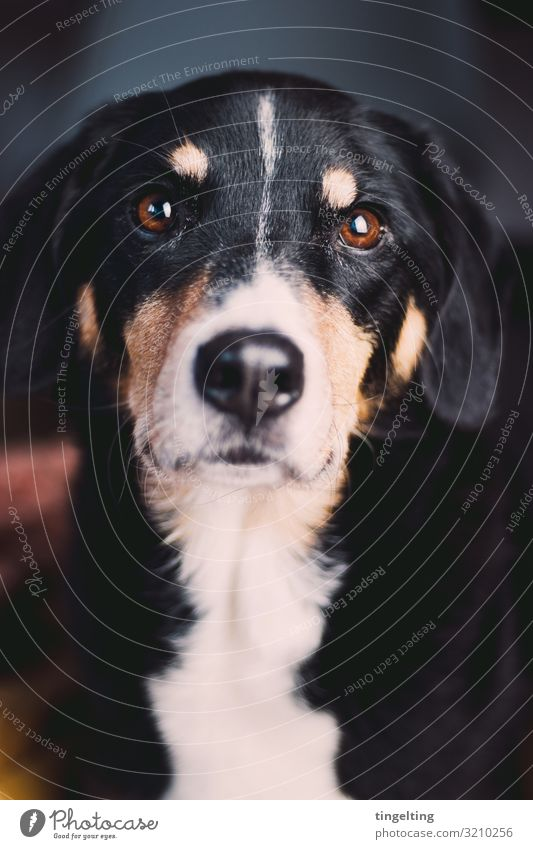 These eyes Animal Pet Dog 1 Observe Glittering Living or residing Brown Black Bernese Mountain Dog cattle dog working dog dog's nose Beautiful Beg Love Pelt