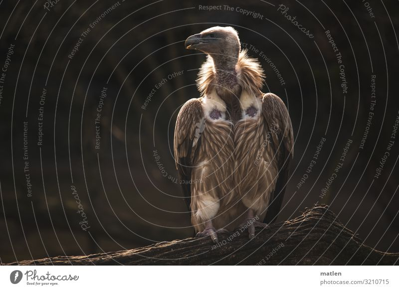 Warm the back Autumn Animal Bird 1 Sit Brown Vulture Branch Looking away Heat Colour photo Subdued colour Exterior shot Close-up Copy Space left