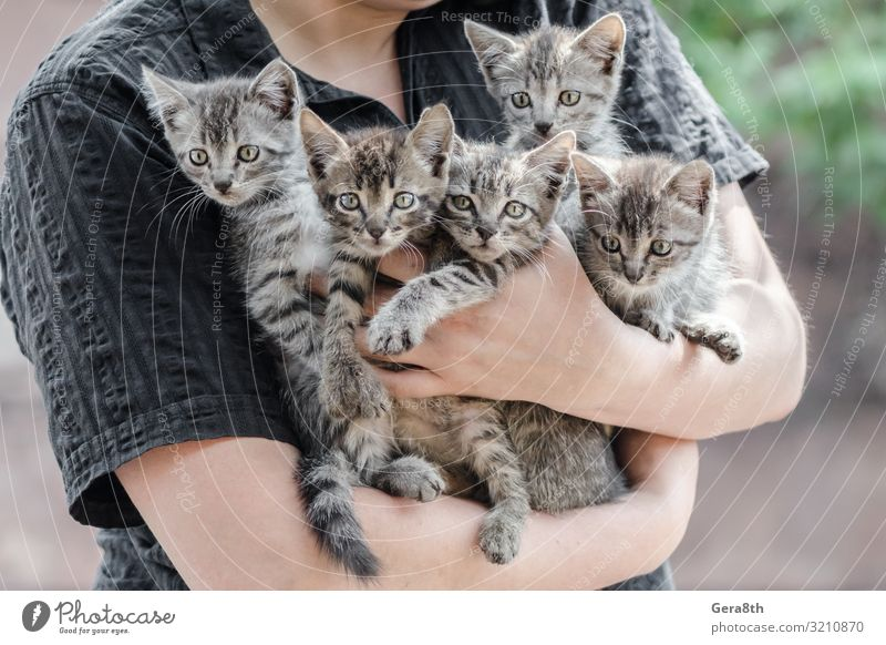 bunch of tabby kittens in female hands Cat Human being Hand Animal Family & Relations Friendship Pet Home Embrace Hold Kitten Hatch Humanity Crossbreed Shelter