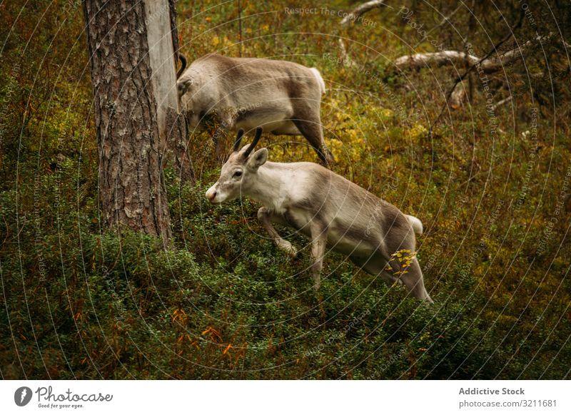 Young reindeer grazing in forest grass graze run nature finland tree flora fauna wild creature mammal animal young feed fur scenic beast fawn harmony idyllic
