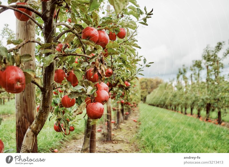 apple orchard Nature Plant Clouds Storm clouds Summer Autumn Tree Garden Healthy Juicy Green Red Success Idyll Joie de vivre (Vitality) Optimism Environment