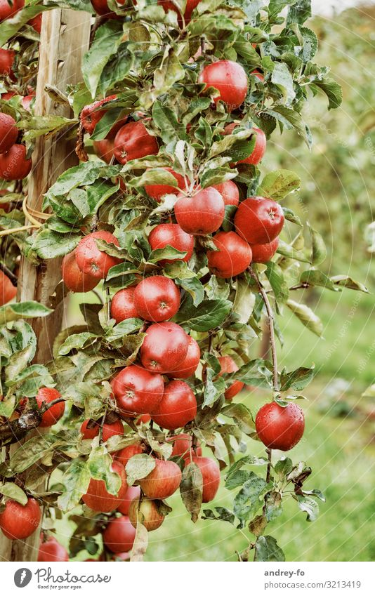 Summer Plant Green Red Tree Leaf Healthy Autumn Sweet Delicious Harvest Apple Fragrance Mature Agricultural crop Apple tree