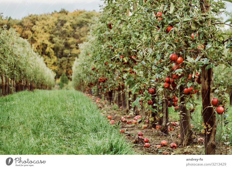 apple orchard Plant Summer Autumn Tree Garden Forest Fragrance Healthy Juicy Green Red Success Idyll Environment Apple tree Apple harvest Apple plantation