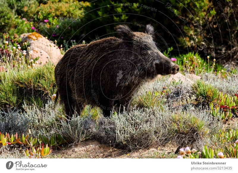Sardinian wild boar looks watchful Wild boar Swine Sus scrofa meridionalis Even-toed ungulate omnivorous Maternal pig Black Coat Sow brook Pelt Bristles Habitat