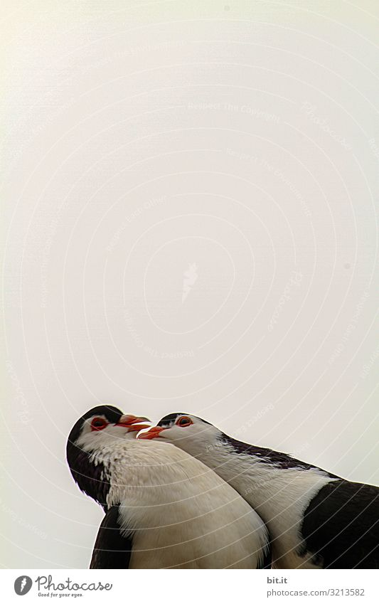 Lovebirds Nature Sky Animal Bird Pigeon 2 Pair of animals Kissing Together Black White Emotions Happy Protection Safety (feeling of) Sympathy Love of animals