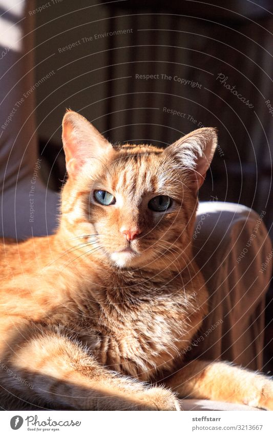 Orange domestic cat relaxes in the sun on a chair Animal Pet Cat Animal face 1 Blue orange cat relaxed cat Domestic cat green eyes shorthaired cat tabby