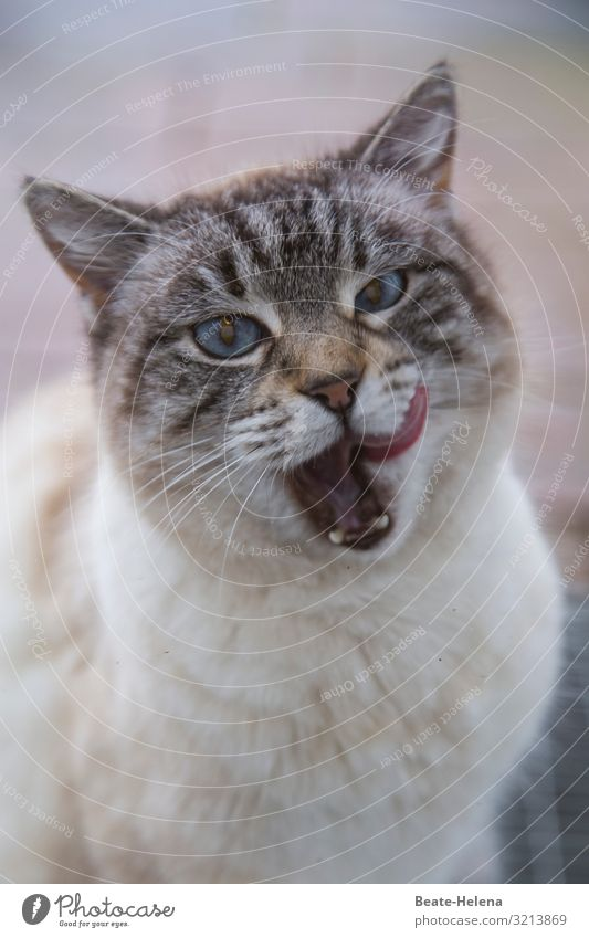 Cats know what tastes good: Show tongue Cat's Tongue sweet tooth blue eyes Gourmet glutton Gratitude epicure pretty frisky Delicacy To feed Pet Pelt Animal