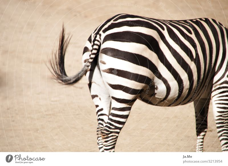 Striped reverse side Nature Animal Earth Sand Summer Beautiful weather Warmth Drought Farm animal Horse Pelt Zoo Zebra Zebra crossing 1 To swing Eroticism Near