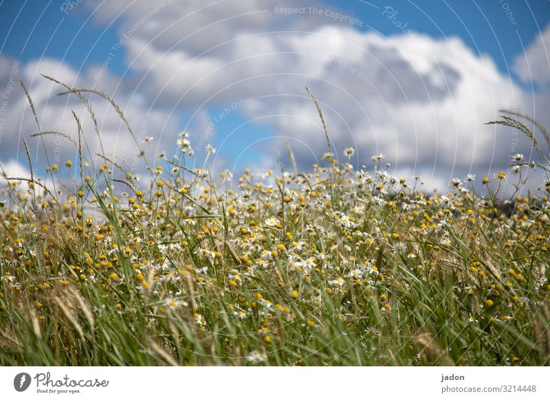Just summer. Meadow green Grass Summer flowers bleed Daisy Nature Plant Exterior shot White Colour photo Blossoming Flower meadow Deserted Blur Sky Clouds Blue