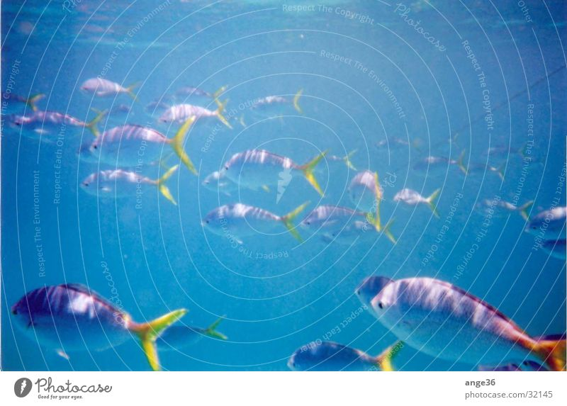 fish Ocean Australia Great Barrier Reef Indian Ocean Transport Fish Water Flock Blue
