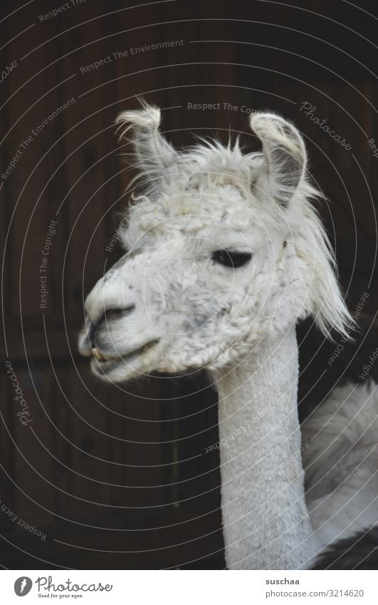 another lama Llama Alpaca camel species Animal Pet Farm animal strange animal Cute Comical Animal face Head ears Pelt Snout white fur Dark background