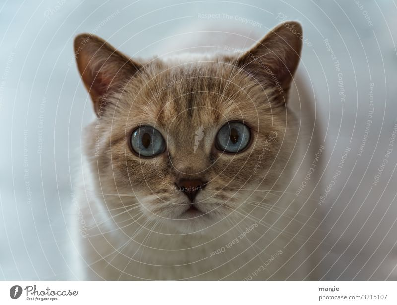 A beautiful cat with blue eyes Cat Cat eyes cat's eyes Domestic cat Pet Animal portrait Animal face Whisker Upper body Long shot Central perspective Deserted
