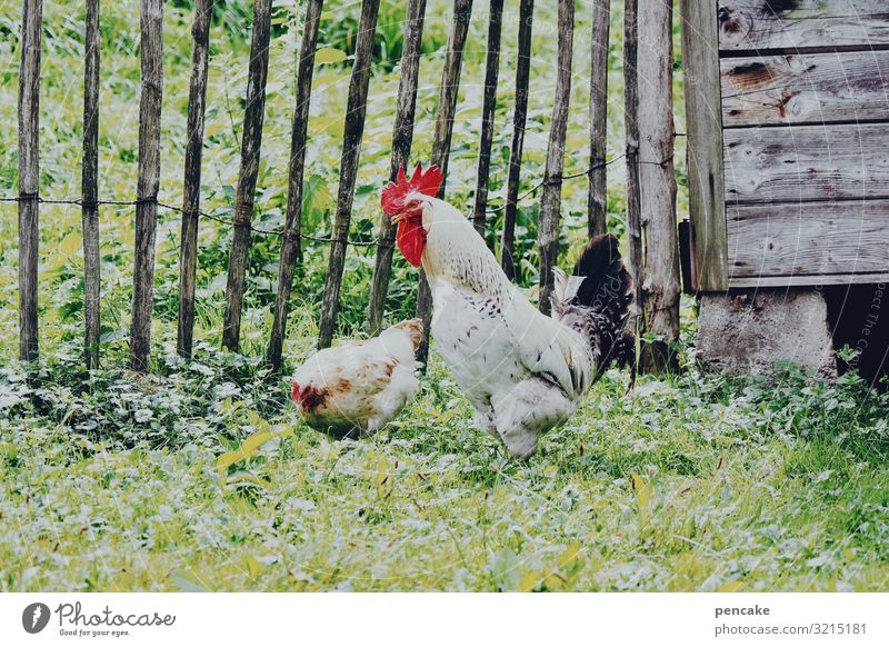 and... You got it? Nature Summer Beautiful weather Grass Garden Animal Farm animal 2 Idyll Wood Barn Gamefowl Barn fowl Rooster Peck Wooden fence