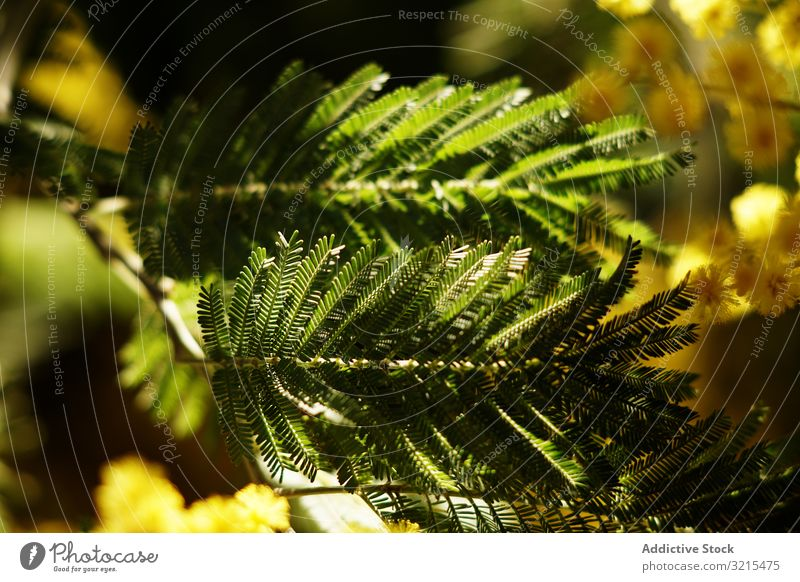 Branches of conifer tree in park twig growing spring evergreen blossom sprigs natural garden shadow delicate plant sunny daytime vegetation bush leaves fresh