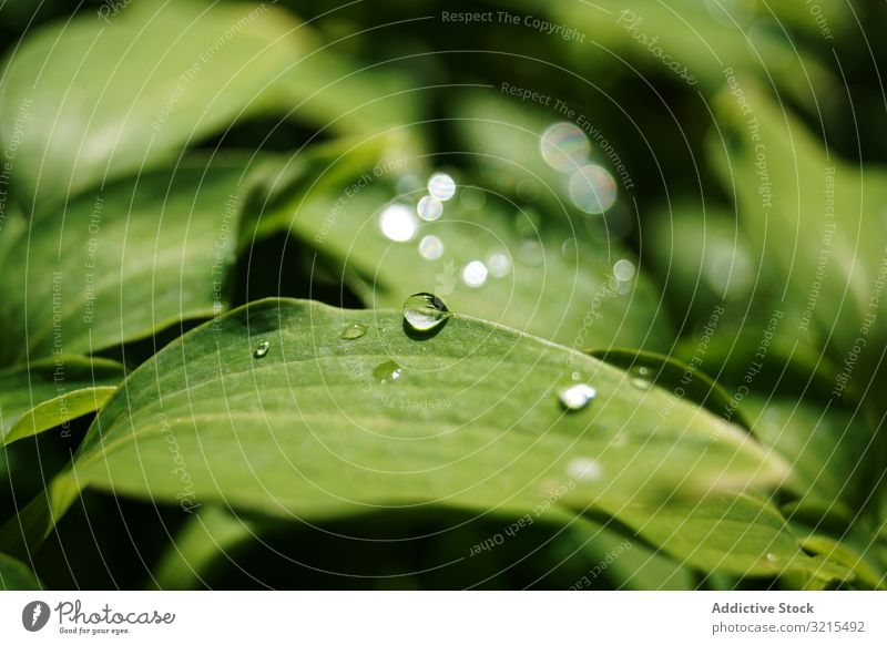 Water drops on green leaves water plant park dew flora spring transparent sunny nature shiny garden environment harmony delicate wet summer botanical clean