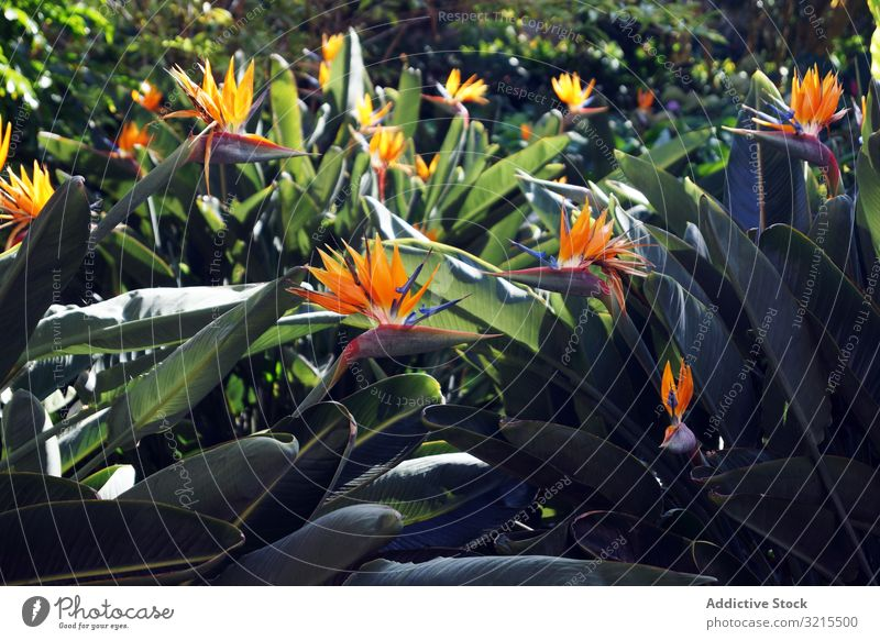 Flowerbed with bird of paradise flowers tropical park flowerbed leaves bloom strelitzia red green spring sunny daytime season nature garden exotic plant blossom