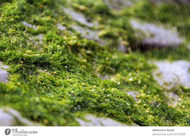Closeup of green fluffy moss on stone closeup natural nature growth wet beautiful plant lichen forest surface sheaf season colorful moist spore covered wild