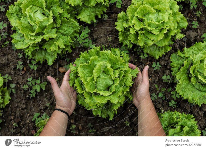 Lettuce green leaves on loose brown bed lettuce fresh food healthy organic salad vegetarian ingredient plant diet natural raw freshness nature gourmet dieting