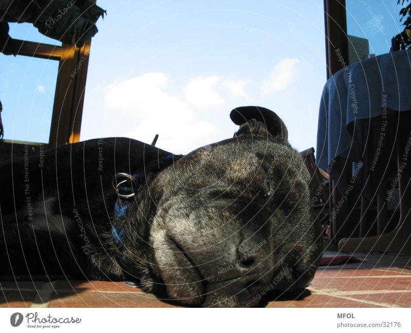 sleeping bag Dog Sleep Snout Gray Fatigue Comfortable Lie Sky Old