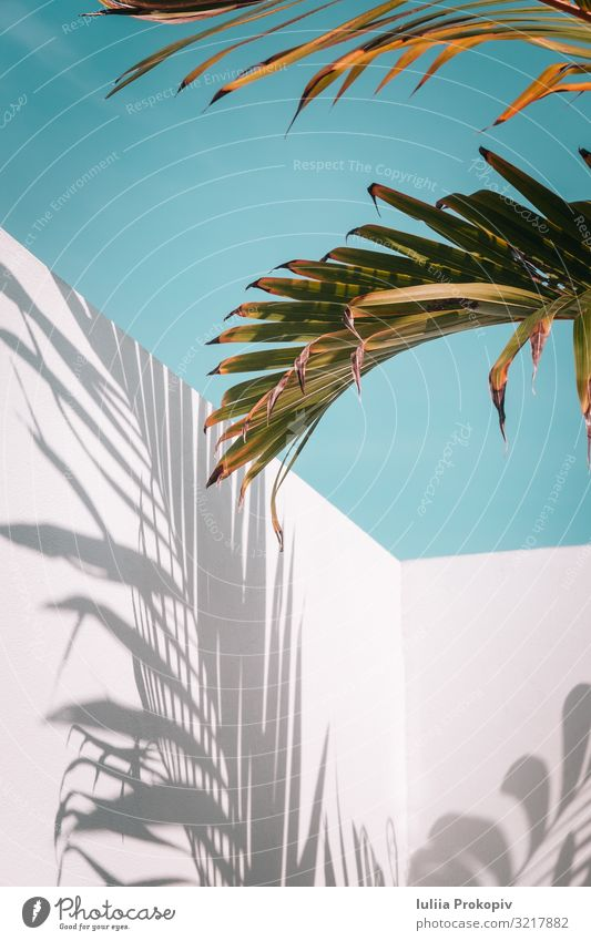 Palm leaves on turquoise sky and white wall Exotic Beautiful Summer Wallpaper Nature Plant Sky Tree Leaf Fashion Bright Blue Green Turquoise White Colour