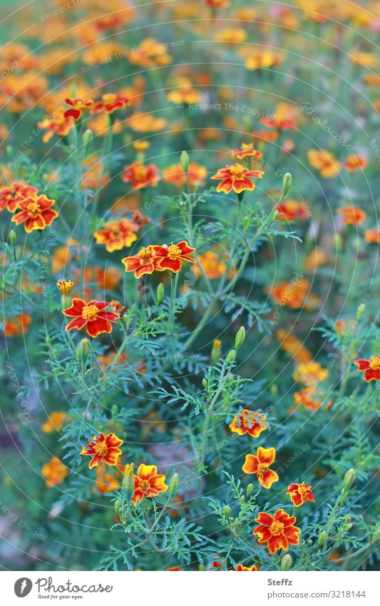 bee-friendly Environment Nature Plant Summer Flower Blossom Spice days Marigold Garden plants garden flower Summerflower Summerflowerbed Flowerbed Blossoming