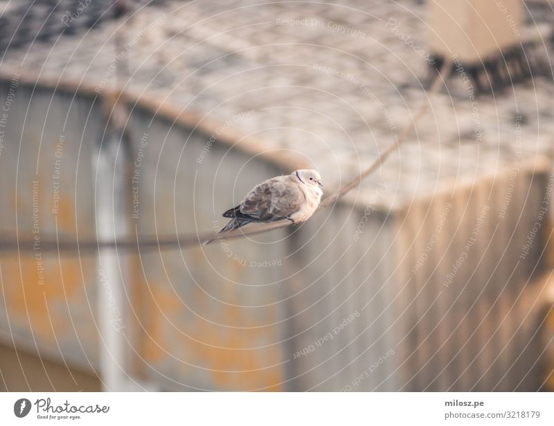 Pigeon on a Power Line Animal Bird 1 Observe Sit Subdued colour Exterior shot Deserted Isolated Image Day Light Sunlight Shallow depth of field