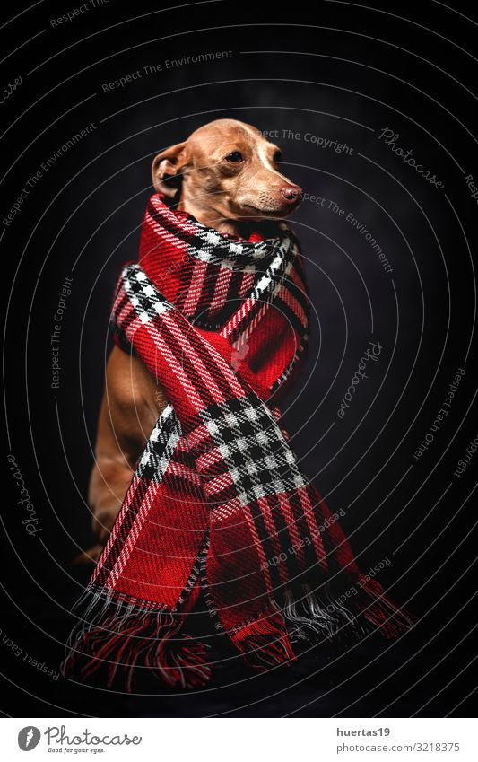 Funny dog with red plaid scarf Dog Beautiful Red Animal Winter Dark Black Lifestyle Autumn Happy Small Fashion Brown Friendship Clothing