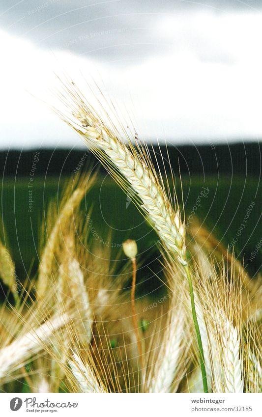 Nature Summer Grain Wheat Wheatfield