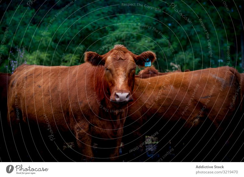 Herd of cows on countryside farm pasture agriculture domestic animal paddock rural mammal corral cattle grazing herd farmland brown industry environment dairy