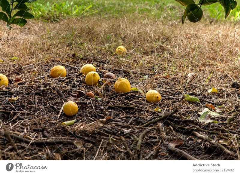 Bunch of lemons on ground under tree garden agriculture citrus food fruit harvest cultivated botanical ripe tropical natural fresh healthy organic orchard