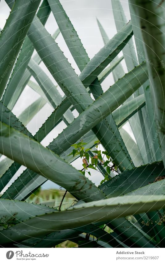 Long succulent plant leaves long spiky agave growing tall green thorns daylight botany nature summer exotic prickly cactus natural flora tropical sharp detail