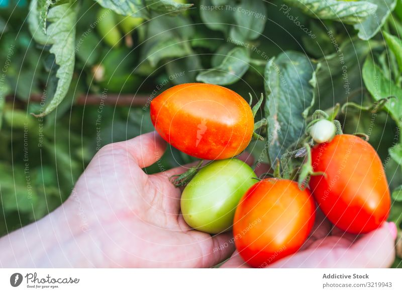 Shiny red tomatoes on green bunch in hands gardener vegetable fresh ripe organic harvest food agriculture female healthy summer holding growth plant lifestyle