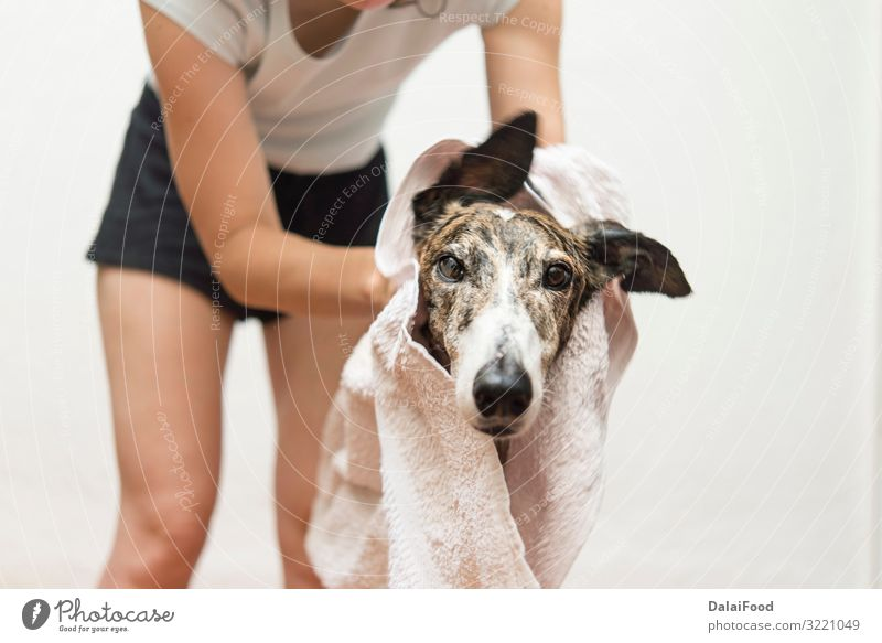 drying the dog with a towel Happy Woman Adults Friendship Pet Dog Small Funny Wet Cute Clean Soft Brown White Delightful background bath bathing Breed care