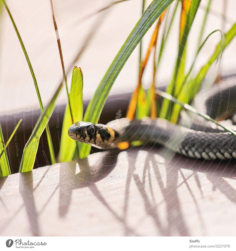in light and shade Environment Nature Summer Animal Wild animal Snake Ring-snake Viper Snake eyes Reptiles 1 Observe Lie Looking Exceptional Thin Natural