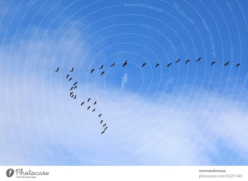 migratory birds Animal Sky Clouds Beautiful weather Wild animal Bird Flock Flying Blue Black Migratory bird Flock of birds Intuition Colour photo Exterior shot