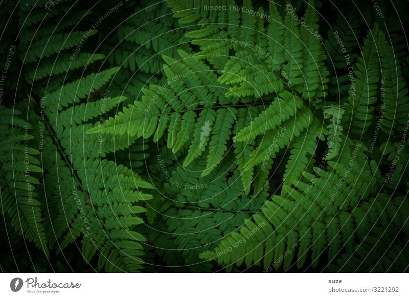wild fern Harmonious Calm Decoration Environment Nature Plant Climate Bushes Fern Leaf Foliage plant Wild plant Virgin forest Esthetic Authentic Dark Simple