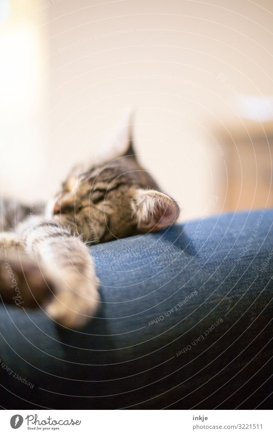 nodded kitten Leisure and hobbies Living or residing Jeans Pet 1 Animal Baby animal Sleep Authentic Small Cute Calm Contentment Cuddling Colour photo