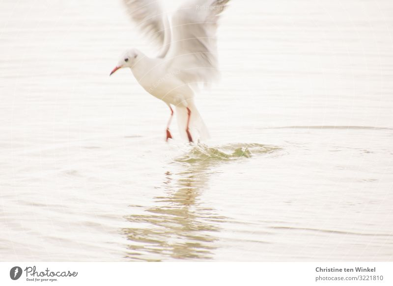 Seagull in the bay of Lübeck Environment Nature Animal Water Climate change Coast Baltic Sea Bird Animal face Wing Claw 1 Flying Hunting Looking Esthetic