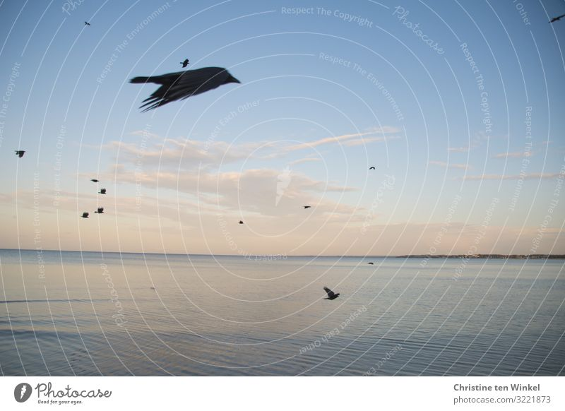 Ravens in flight over the Baltic Sea Nature Animal Sky Clouds Autumn Climate change Beautiful weather Waves Coast Ocean Germany Europe Wild animal birds
