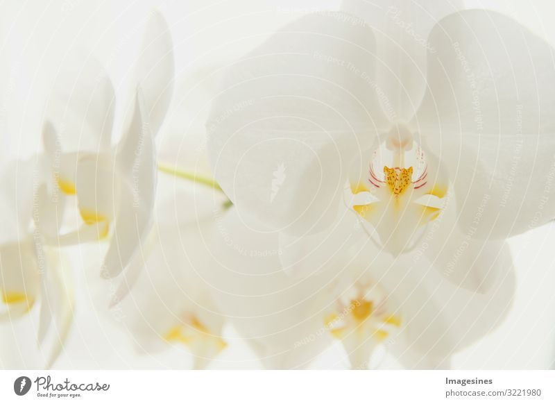 "Moon Orchid Environment Nature Plant Flower Exotic moon orchid Esthetic Beautiful Design ""Branch white Close-up Orchids,light background"