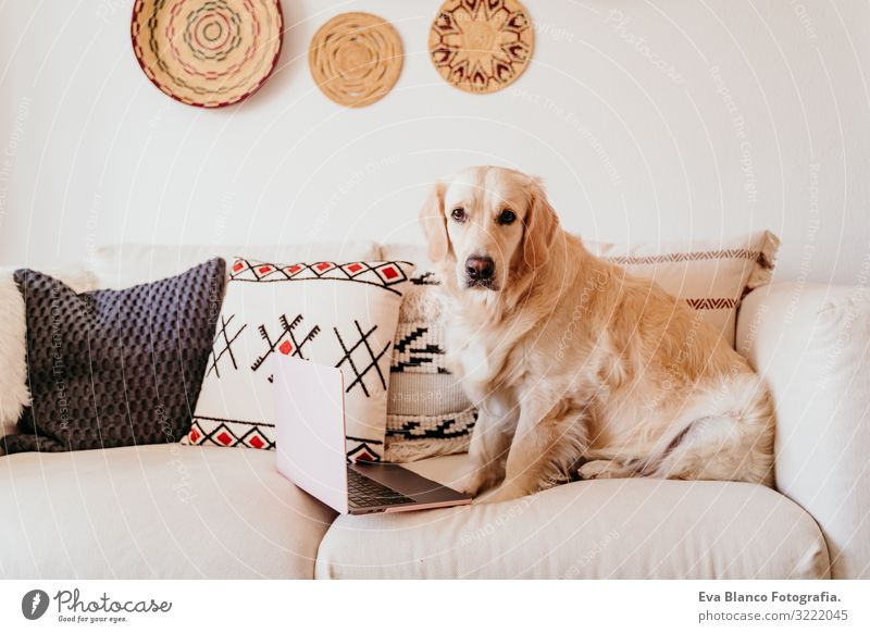 adorable golden retriever dog on the sofa working on laptop Dog Notebook Technology Work and employment Office Golden Retriever Purebred Funny Delightful Autumn