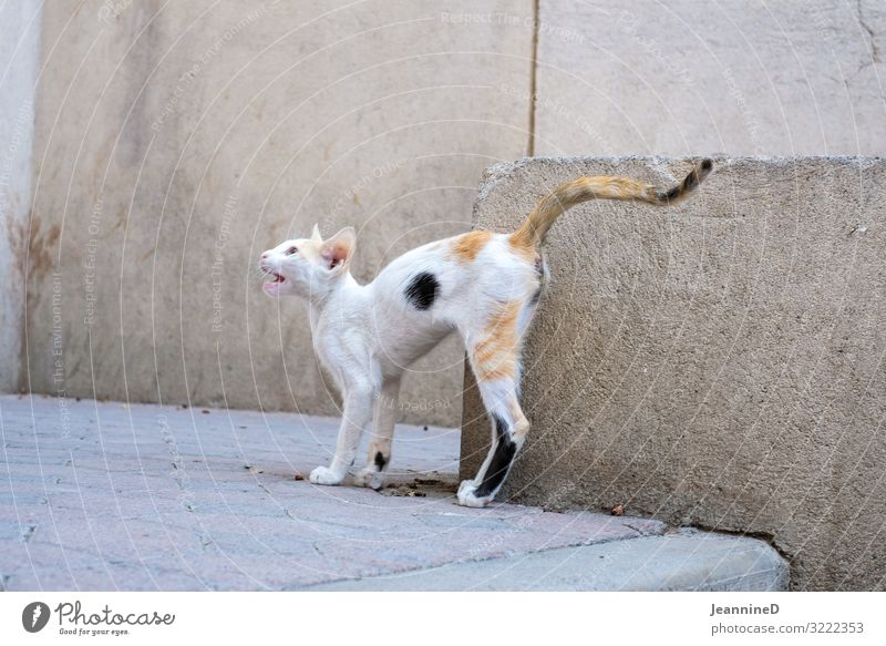 Wild cat Oman Alley Animal Cat 1 Aggression Thin Anger Surprise Fear Horror Grouchy Aggressive Nerviness Aggravation Domestic cat Attack Coat care Pelt