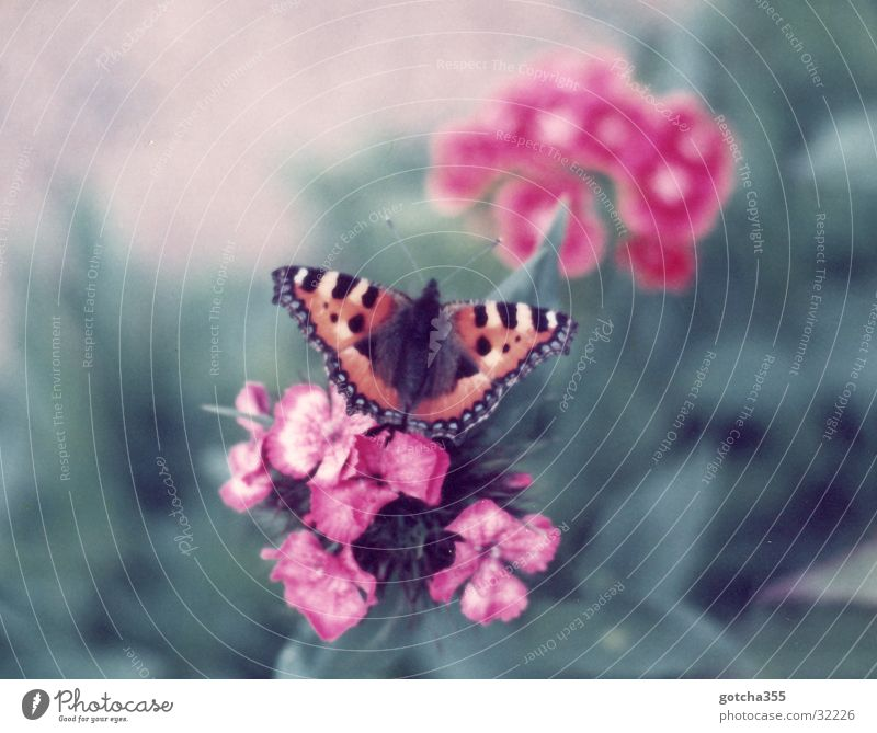 Little Fox Butterfly Small tortoiseshell Flower Colour Freedom Beautiful