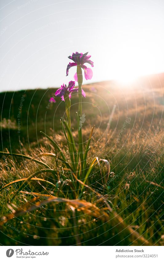 Pink flower in sunlight in hilly valley pink growing landscape nature countryside scenery rural plant environment grass travel tourism blossom idyllic majestic