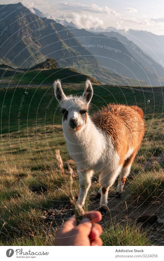 Hand feeding White-brown llama grazing on grass in mountains animal valley hair mammal fluffy head agriculture wild fur cute stand grassland graze meadow