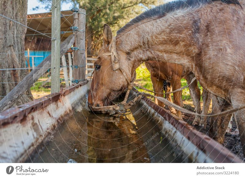 Horses drinking water in long drinker on barnyard horse animal mammal nature fauna domestic farm rural natural hoofed pasture herd stallion pet care bridle