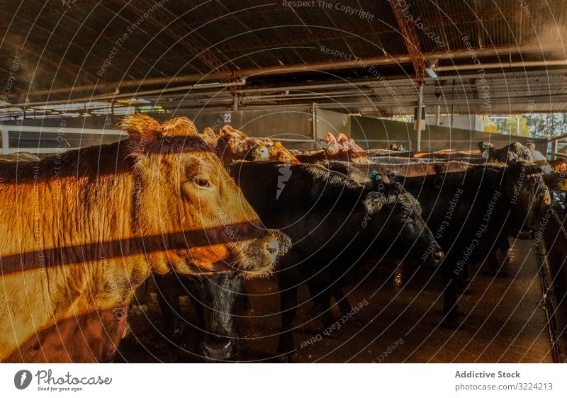 Calm brown cow in stable in bright sunlight cattle farm country healthy traditional natural countryside herd sunbeam animal environment waiting ranch