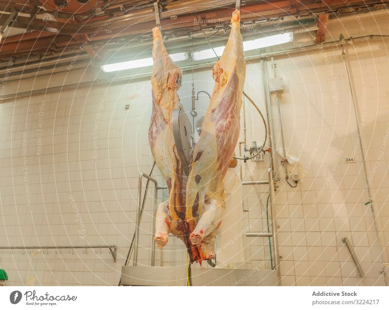 Chopped carcass of cow hanging down at slaughterhouse saw cut industrial fresh chopped meat mature beef agriculture food abattoir butchery dead organic raw